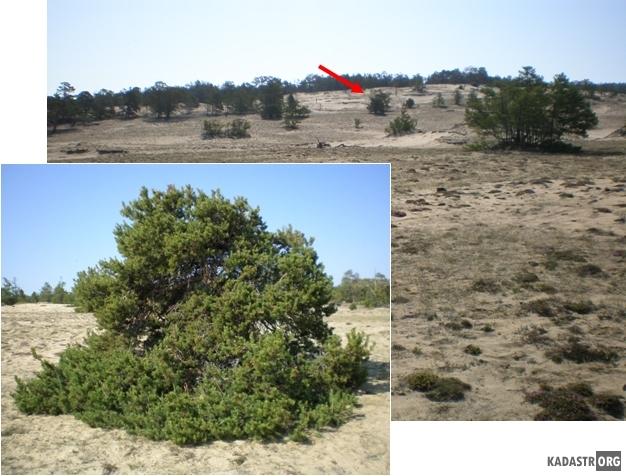 Эоловая деятельность ставшая причиной уничтожения лесного массива (район местности